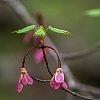 -maple-leaf-pollen-sm.jpg