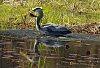 -blue-heron-eating-crap._edited-1.jpg
