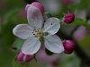 -apple_blossum.jpg
