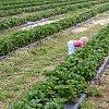 -maeve-bends-strawberry.jpg