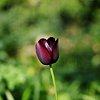 -afternoon-tulip.jpg