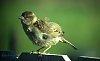 -fluffed-up-sparrow.jpg