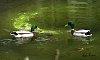 -ducks-lake_sig.jpg