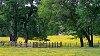-buttercup-meadow-sm.jpg
