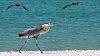 -great-blue-heron-walking-sm.jpg