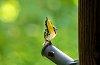 -yellow-throated-warbler-sm.jpg