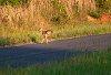 -young-deer-jumping-sm.jpg