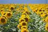 -sunflowers.jpg