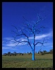 -blue-gum-tree.jpg