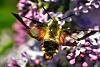 -bee-moth-edit-1024x2.jpg