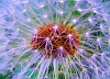 -dandelion-fun-large-.jpg