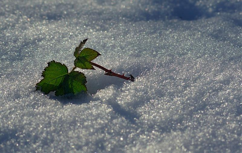 Name:  Leaf in snow small.jpg