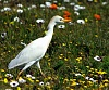 -wild-flowers-egret.jpg