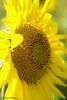 Sunflower-_igp1527c.jpg
