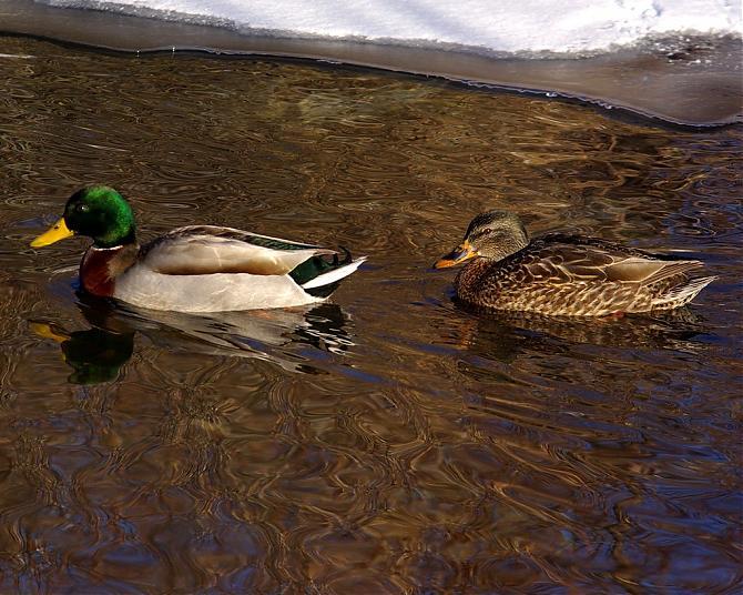 Name:  IMGP6355 ducks 1.jpg Views: 256 Size:  75.9 KB