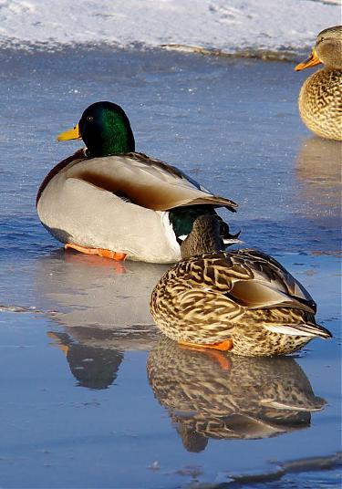 Name:  IMGP6389 ducks 3.jpg Views: 223 Size:  39.1 KB