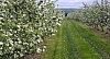 -apple-blossoms-1.jpg