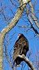 -vulture-framed-copy.jpg