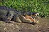 -croc.jpg