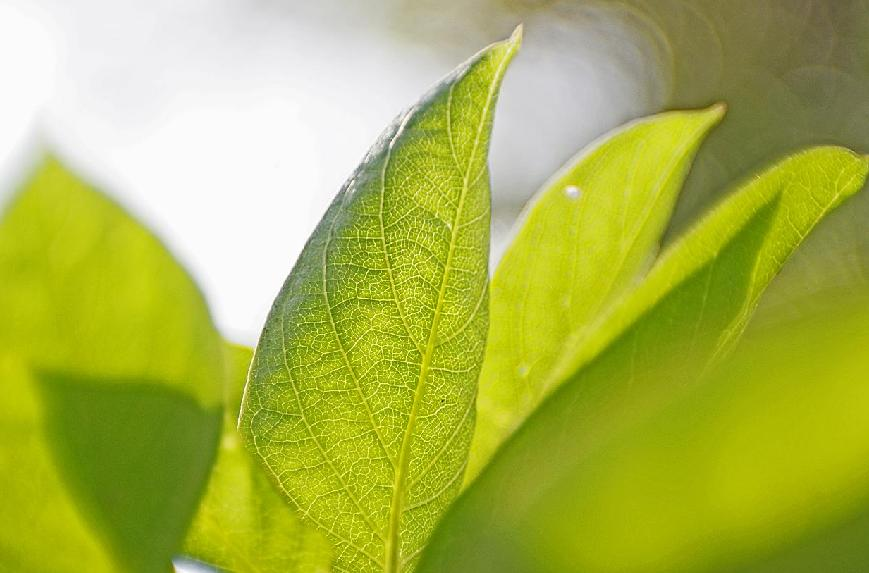Name:  leaf.JPG Views: 127 Size:  54.5 KB