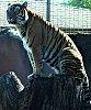 -imgp3863-tiger-stump-10-08-star-55-zoo-bbb.jpg