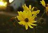 -sunray_flower.jpg