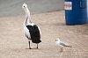 -pelican-gull-2.jpg