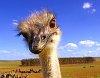-ostrich1.jpg