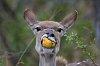 -kudu-doe-naartjie.jpg