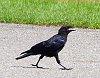 -crow.jpg