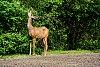 -chama-deer-1xp.jpg