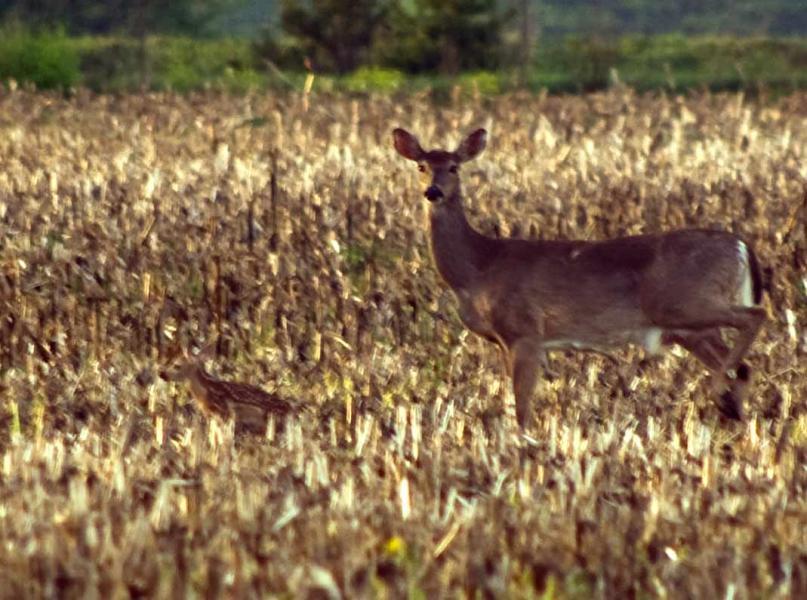 Name:  Deer&Fawn20100505_0028.jpg Views: 511 Size:  84.5 KB