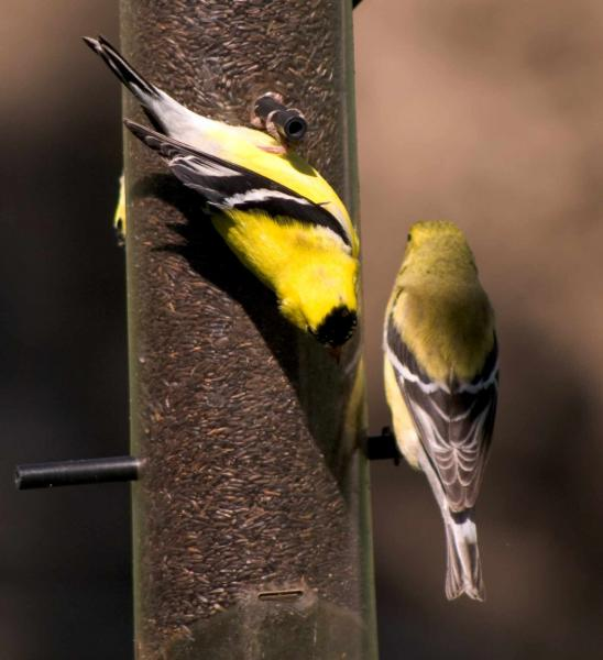 Name:  Goldfinches20100509_0077.jpg Views: 430 Size:  37.7 KB