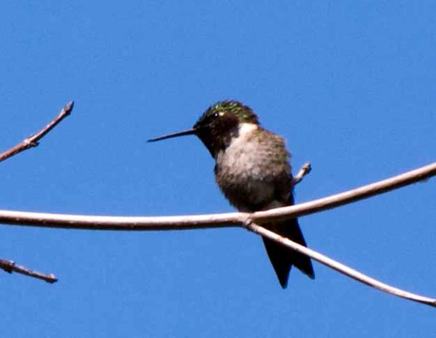 Name:  Hummingbird20100509_0042.jpg Views: 426 Size:  15.5 KB