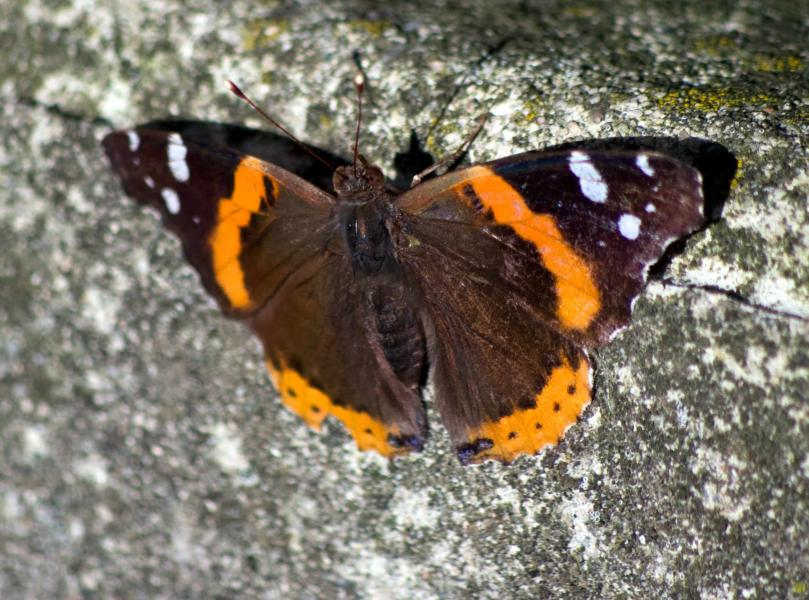 Name:  Butterfly20100602_0114.jpg