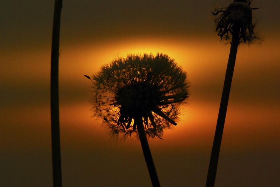 Name:  Sunset Dandylion.jpg