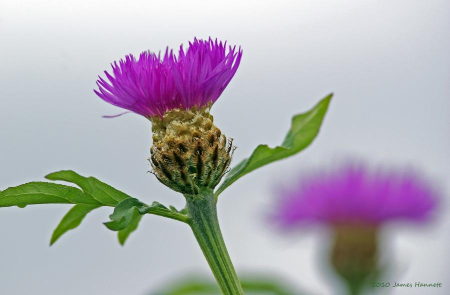Name:  Canada Thistle.jpg