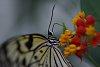 -tree-nymph-butterfly.jpg