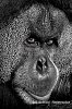 -male-orangutan-39-lrwm.jpg