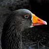 -mr.-goose.jpg