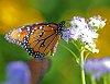 -monarch-web-sized-penta.jpg
