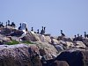 -imgp6207_quiambaugcove_mystic_connecticut_fishersislandsound_cormorants_seagull_rock_bird_fromka.jpg