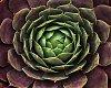 -succulent-a630-chdk.jpg