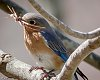 -bluebird-1-3.jpg