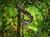 -pine-snake-printed_1067x800.jpg