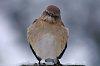 -mockingbird.jpg