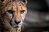 -cheetah.jpg