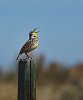 -meadowlark-websize.jpg