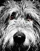 -hazard-our-irish-wolfhound-small.jpg