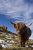 -highland-cattle-.jpg